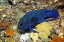 Devilfish or Western Blue Devil. Photo taken in Esperance... by Brian Mayes 